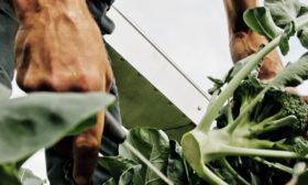 Høst af brocolli