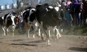 Køerne lukkes ud