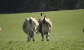 Køer på mark – Økodag