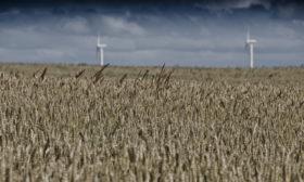 Økologisk kornmark
