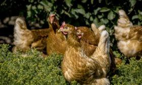 Øko høns